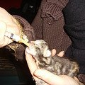 Kitten 1 dag oud en de fles