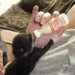 Kitten bij mij op schoot aan de fles